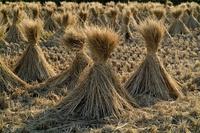 Bild Reis Stroh